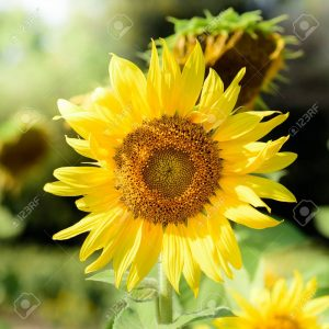Close-up of sun flowe